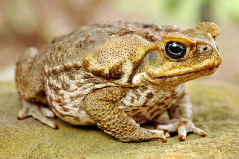 How to Get Rid of Cane Toads