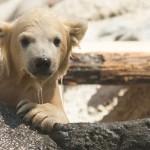 BSS4 Polar Bear Cub Wet | Stay at Home Mum.com.au