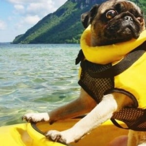 24 Photos of Pugs Having the Best Time of Their Lives