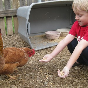 6 Things To Think About Before Getting Chickens