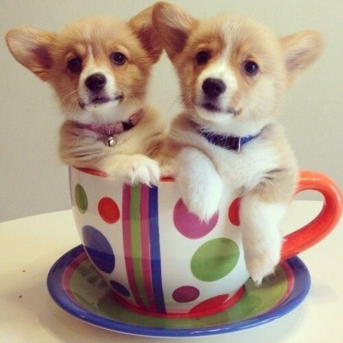 15 Teacup Puppies You'll Love to Have | Stay at Home Mum