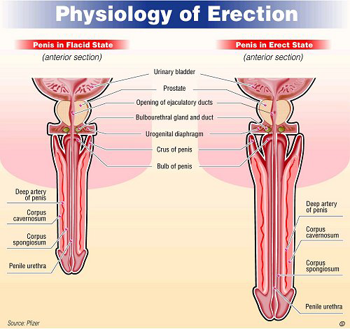 facts about erection