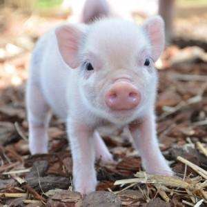 This Mini Pig Will Teach You How To Enjoy Autumn