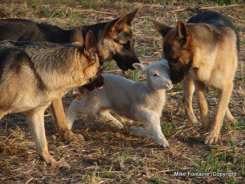 shepherds-moving-sheep