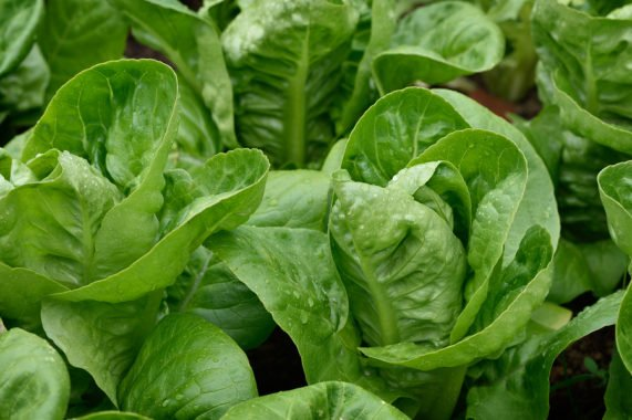 Urgent Recall For Bagged Lettuce Due To Salmonella