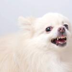 videoblocks white pomeranian dog get angry sb9ffyvem thumbnail full01 | Stay at Home Mum.com.au