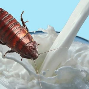 How About An Ice Cold Glass Of Cockroach Milk?