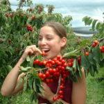 Picking cherries is fun e1481521371155   Stay at Home Mum.com.au