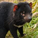tasmania zoo tassie devil | Stay at Home Mum.com.au