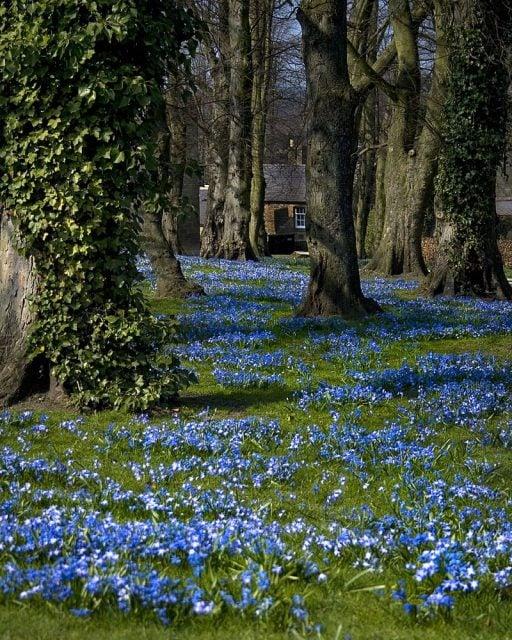 blue fower carpet scilla spec alnwick gardens uk photo by matthew hunt cc by 2 0 | Stay at Home Mum.com.au